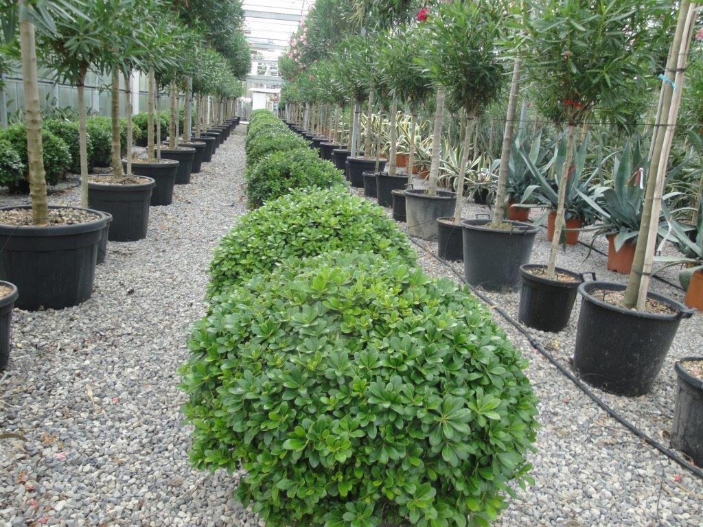 PITTOSPORUM TORBIRA NANA