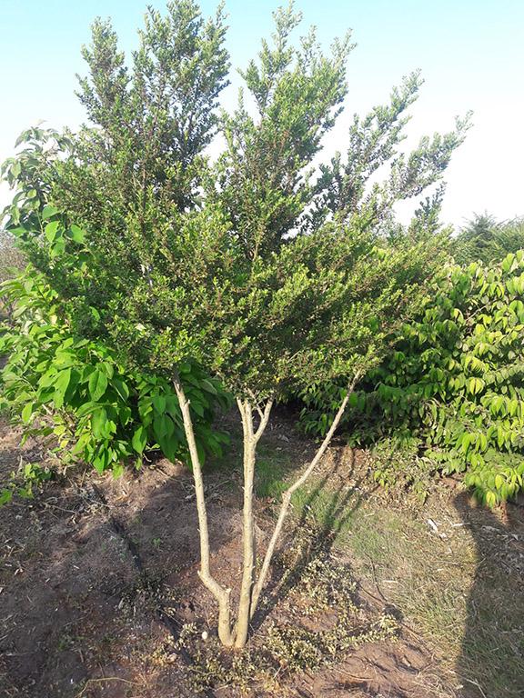 ilex crenata green hedge multistem